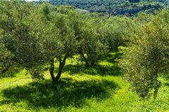 Olive trees grove landscape in the Mediterranean island of Crete, Greece. Royalty Free Stock Image