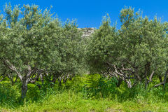 Olive trees grove landscape in the Mediterranean island of Crete, Greece. Stock Photos