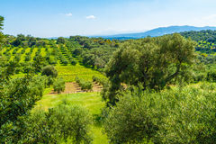 Olive trees grove landscape in the Mediterranean island of Crete, Greece. Royalty Free Stock Images