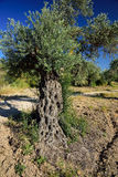 Olive trees grove. Royalty Free Stock Images