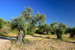 Olive trees grove. Royalty Free Stock Image