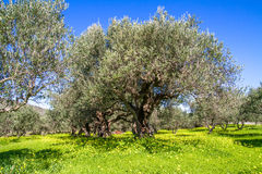 Olive trees grovein Crete Island, Greece. Royalty Free Stock Photo