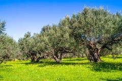 Olive trees grovein Crete Island, Greece. Royalty Free Stock Photos
