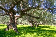 Olive trees grovein Crete Island, Greece. Stock Photo