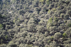 Olive trees. Growing on a mountain in Spain Royalty Free Stock Image