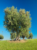 Olive-trees hill. Stock Image