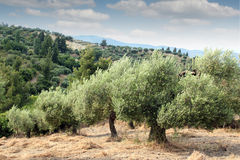 Olive trees hill Royalty Free Stock Photography