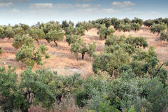 Olive trees hill landscape Stock Photo