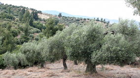 Olive trees stock video