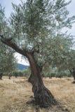 Olive trees i koloni Royaltyfri Bild