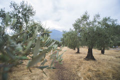 Olive trees i koloni Royaltyfri Foto