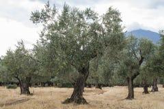 Olive trees i koloni Arkivbilder