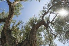 Olive trees i koloni Arkivfoton