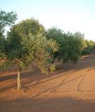 Olive Trees i södra Italien Royaltyfri Fotografi