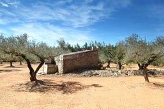 Olive Trees i spain Arkivbild