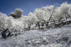 Olive Trees in Infrared. 720nm Infrared of some olive trees in Spain stock photo