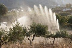 Olive trees irrigation Stock Image