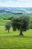 Olive trees, Italy Royalty Free Stock Image