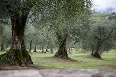 Olive Trees in Italy Royalty Free Stock Image