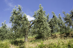 Olive trees in Italy Royalty Free Stock Photo