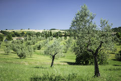 Olive trees in Italy Stock Photos
