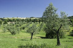 Olive trees in Italy Royalty Free Stock Images