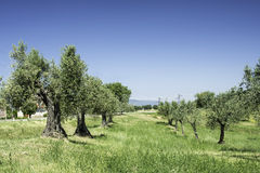 Olive trees in Italy Stock Image