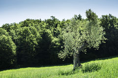 Olive trees in Italy Royalty Free Stock Photos