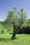 Olive trees in Italy Stock Photography