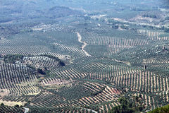 Olive trees,Jaen Spain Royalty Free Stock Images