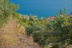 Olive Trees - Kroatien Lizenzfreies Stockbild
