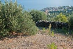 Olive Trees - Kroatien Stockfotografie