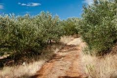 Olive Trees - Kroatien Lizenzfreie Stockfotografie