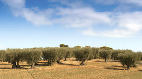 Olive trees landscape Stock Photography