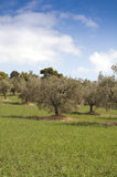 Olive trees landscape Royalty Free Stock Images