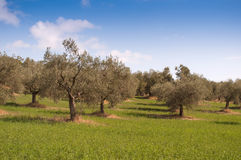 Olive trees landscape Royalty Free Stock Photos