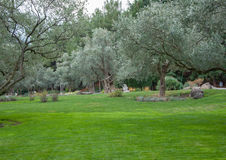 Olive trees and lawn in an exotic park. In high quality Royalty Free Stock Photo