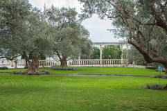 Olive trees and lawn in an exotic park. In high quality Royalty Free Stock Images