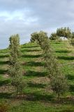 Olive trees in line Stock Photography