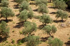 Olive trees lines Royalty Free Stock Photography