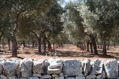 Olive trees in lines in an olive grove near Alberobello in Puglia, South Italy. Stone wall in foreground. royalty free stock photography