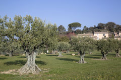 Olive Trees in Lourmarin, Provence, France. Europe Stock Image