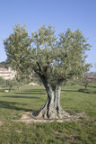 Olive Trees in Lourmarin, Provence, France. Europe Royalty Free Stock Photos