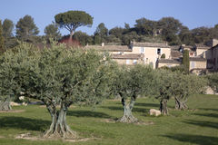 Olive Trees in Lourmarin, Provence, France. Europe Royalty Free Stock Images