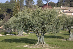 Olive Trees in Lourmarin, Provence. France, Europe Stock Photography
