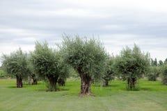 Olive Trees, Lujan de Cuyo, Mendoza Stock Photo