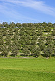 Olive trees and meadow. Olive trees with green meadow and cloudy blue sky Royalty Free Stock Photos