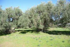 Olive trees in mediterranean area Royalty Free Stock Photo