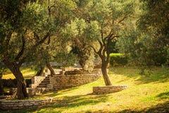 Olive trees. Mediterranean garden in the morning Stock Photos