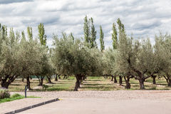 Olive Trees Mendoza Argentina Royalty Free Stock Images